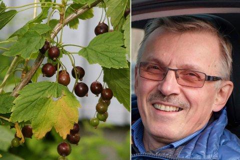 TARE: Kåre Breiviks selskap Barents Seaweed har startet et samarbeid med Reisa Bær og skal opprette et nytt bærmottak i Tana.