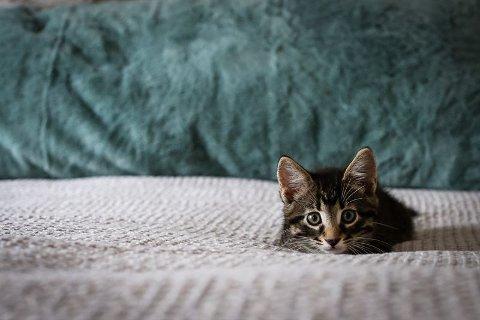 KATTENAVN: Siba er det mestpopulære kattenavnet i 2020, i følge Agria Dyreforsikring.
