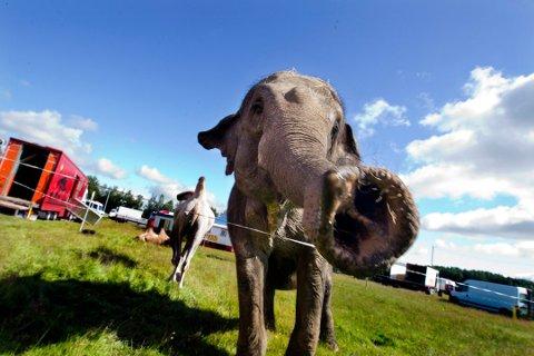 Elefant klar til forestilling i Nes i 2012. Det kommer ikke til å skje igjen i Norge.