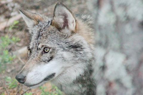 Stammen reduseres: Det er færre ulv i Skandinavia enn på flere år.