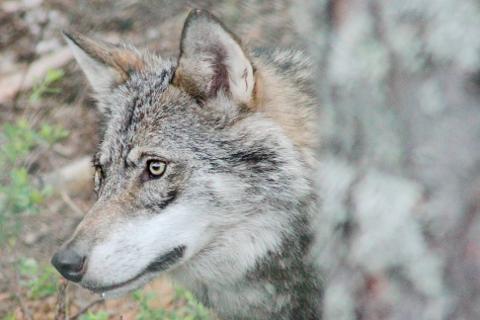 Skjebnen avgjøres: Får Mangen-ulvene leve?