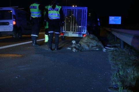 ELGPÅKJØRSEL: Ulykka fant sted nord for Grankrysset.