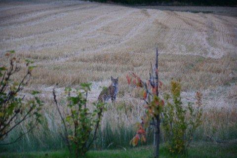 PÅ JAKT: Gaupa kom helt inn til Beyers tomt. Den hadde muligens fått ferten av familien kanin og var på jakt.