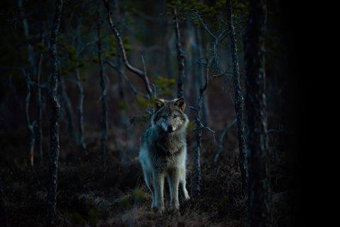 UNIK OPPLEVELSE: Kun 25 meter fra fotoskjulet til Terje Busk, stoppet ulven og lot seg fotografere.