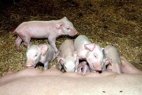 Det var 8. juli 2019 at det ble påvist resistent MRSA-bakterie hos gårdbruker Frode Fossum i Sandnessjøen, at 1.198 svin måtte bøte med livet. Fossum har fått erstatning etter pålegget.