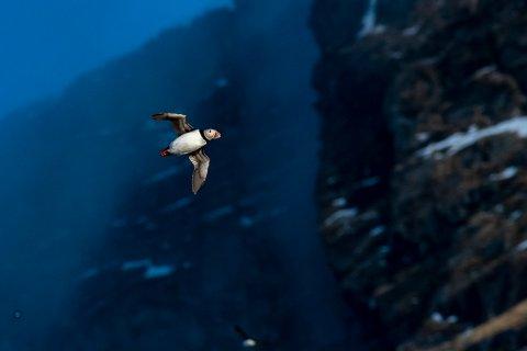 Årets store vårtegn: Hvert år i midten av april inntar lundefuglen sitt hekkested på Lovund.