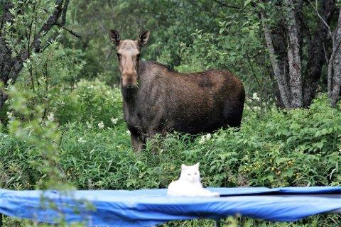 Et jaktlag forsøker nå å skyte de nå morløse kalvene.