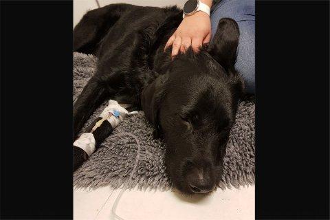 KRITISK: Hunden Truls måtte behandles med glukosedrypp hos Dyrlegen på Ålgård etter at han fikk i seg 15 biter sukkerfri tyggegummi med xylitol.