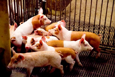 Det er registrert MRSA-smitte ved tre bruk i Hå og eit i Sandnes som har fått levert gris frå formeringsbesetningen i Hå.