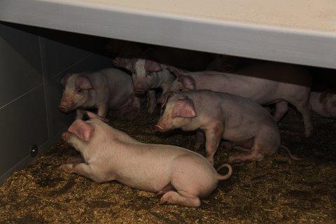 Mattilsynet har vore på omfattande tilsyn hjå besetningar av slaktegris i fylket. Desse grisane har ikkje noko med saka å gjera.