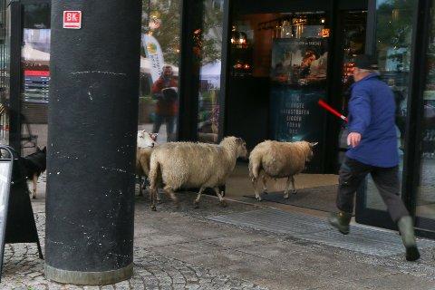 PÅ VEG INN: Her er sauene på veg inn på kinoen. Gjetaren i fullt firsprang for å stoppa dei.