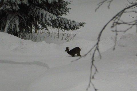 I KAMPEN FOR OVERLEVELSE: Vintere med mye snø er kritisk for rådyrene.- Det tærer på fettreserver og de ønsker å bruke så lite energi som mulig for å overleve vinteren uten særlig tilgang på mat, informerer Kristoffer Græsli, landbruksrådgiver i Holmestrand kommune.