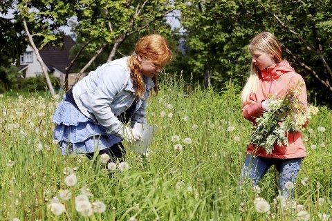Forebyggende: Elevene Mathilde Thorsen  Sundstrøm og Luna Tyrihjell plukker burot ved Kleiverud skole. Foto: Pål Nordby