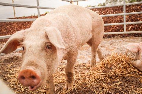DYREVELFERD: Lars Petter Bartnes skriver at vi har mange flinke svinebønder som jobber hardt for at dyra skal ha det bra i Norge. Dette bildet er tatt i en annen anledning (Arkivfoto)
