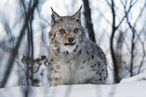 Gaupejakt: 73 dyr er døde etter årets kvotejakt. Foto: Ken Gøran Uglebakken