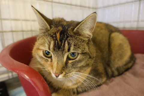 FUNNET VED RAGN-SELLS: Katten har blitt undersøkt av en veterinær, som anslår at den er rundt ett år gammel. Den har fått navnet «Ragnhild» av foreningen, etter hvor den ble funnet.