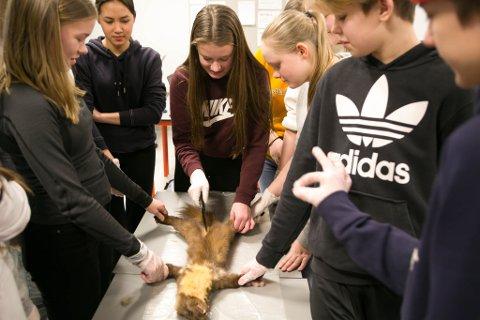 SKJÆRER: Ingvild Hauge får forsøke å skjære i måren. Så får elevene vite hva som er inne i dyret.