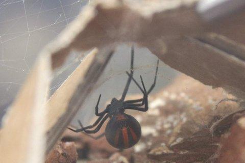 Påskegrøss: Et eksemplar av den fryktede edderkopparten sort enke kravler rundt på Brokelandsheia.