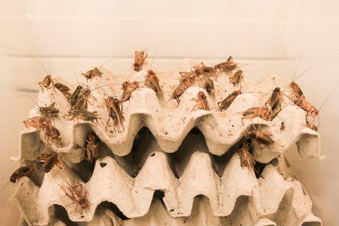 KORTREIST SNADDER: Disse sirissene er ekte gjersdølinger; født og oppvokst på Brokelandsheia. Noe langt liv får de imidlertid ikke...