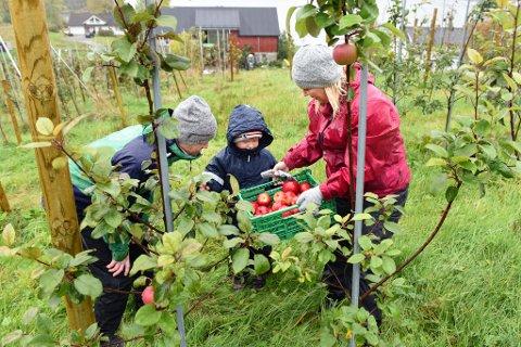 MEDBRAKT: Lars Arve Sæbø, Ingunn Askeland og sonen Vebjørn (6) blant epletre i Sæbø nær Sæbøvik. Eplehausten er stort sett over, men me fann ein attgløymd kasse.