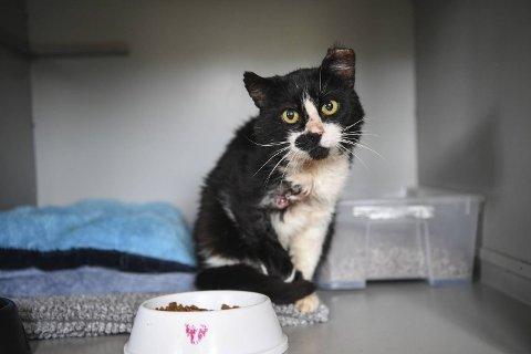 Katten, som har fått navnet Husnesmannen, kom inn til Dyrebeskyttelsen med skuddskader og må amputere den ene foten.