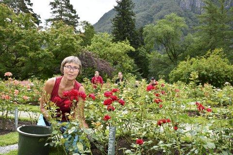 BARONIHAGEN: – Nett no er det stor bløming her, seier Kari Opedal, ansvarleg gartnar for rosene i hagen ved Baroniet Rosendal. Ho fortel at enkelte roser kan stå langt utover hausten. I bakgrunnen kikkar medhjelparane opp frå arbeidet.
