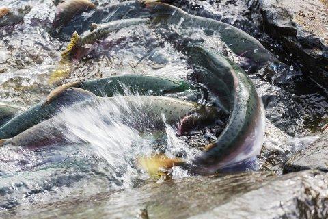 Forskar Øystein Skaala og fleire andre har forska på overlevinga til ville bestandar av laksefisk under forhold med høgt lusepress.