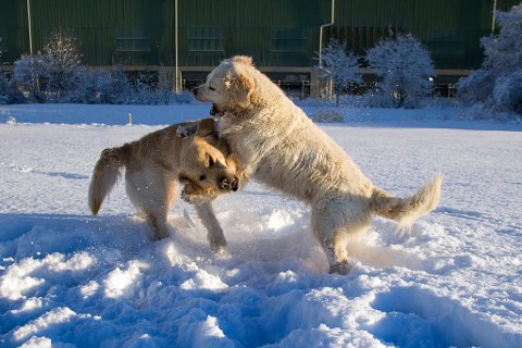 UNNGÅ NÆRKONTAKT: For tida kan det vera lurt å halda hundar frå kvarandre. (Illustrasjonsfoto).