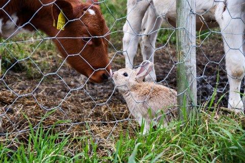 SUSS: På Valegarden har det oppstått eit unikt venskap: Kaninen Pelle elskar å kosa med kalvane.