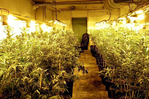 PLANTASJE: Cannabisplantene ble dyrket med flid for å optimalisere avlingen. FOTO: Politiet