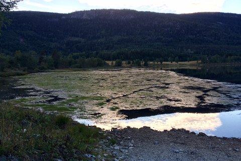 GRØNN ELV: Flere steder i Lågen har blitt slik i høst. Bildet er tatt  nedenfor Rollag stasjon.