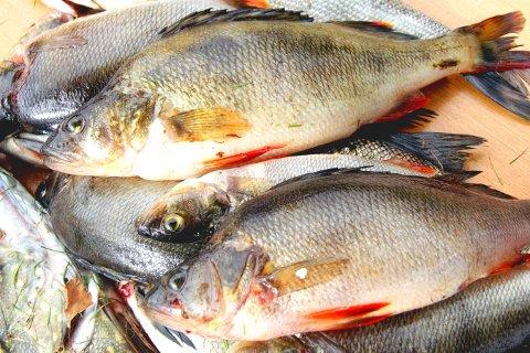 ABBOR: Det er en del grei abbor i Lågen. Utfordringen er å begrense antall småfisk.