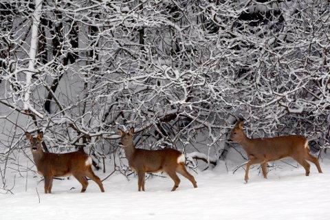 RÅDYR: På denne tiden trekker rådyra ned fra høyden på jakt etter mat. Ikke sjelden ferdes de langs veien. Husk at det gjerne kommer flere etter, dersom ett dyr krysser veien foran bilen.