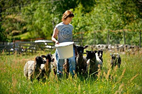 EKSTRA SNACKS: De ti sauene på Bergerløkkene skal spise gras. Det er jobben, men de sier ikke nei til litt ekstra smågodt når matmor Bente Lande er på besøk.