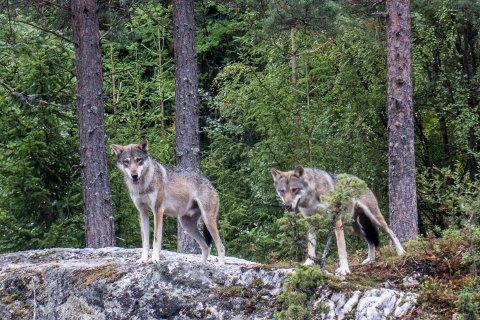 ULV: En skutt ulv i Svene har gitt opphav til mye engasjement de siste dagene. Disse ulvene bor for øvrig i Bjørneparken i Flå.