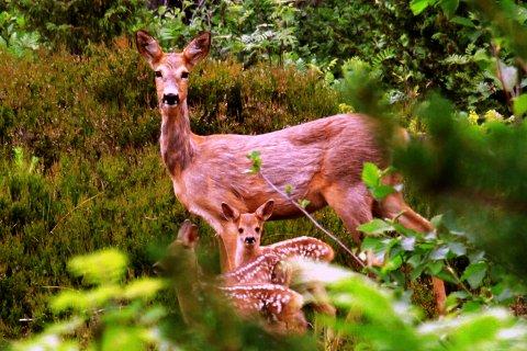 NÆR FOLK: Rådyr er sterkt knyttet til kulturlandskapet. Derfor er naturlig at dyrene trekker inn i boligfelt nær naturen.