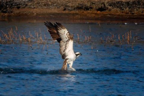 FREDET: Fiskeørna er totalfredet i Norge og hekker blant annet ved Helgevannet. Nå bes folk holde god avstand til reiret slik at ørna ikke forstyrres.