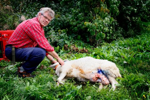 BÅNDTVANG: Dag Heintz og kona mister sau på beite på grunn av løse hunder hvert eneste år. - Det er lett å se at det er hund som har drept, på grunn av hoggskader i bakparten, sier han. Dette bildet ble tatt for tre år siden.