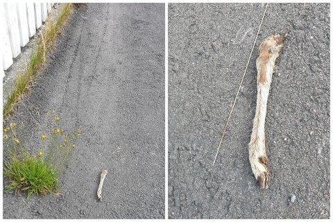 RÅDYRKLOV I BOLIGSTRØK: Et rådyr har en klov mindre. Denne rådyrkloven ble funnet i et boligstrøk sentralt på Kongsberg. Det lå ingen andre spor rundt.
