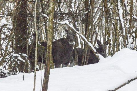 Elg på Klinkenberg: Dette bildet fra forrige uke ble tatt i Klinkengergskogen mellom det utbygde feltet Nordal Panorama og det nye Klinkenbergfeltet.FOTO: ERIK HENNUM