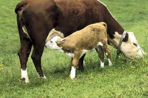 Ku med kalv på beite. Moren er ren Herford - rase (kjøttferase), mens kalven har Charolais far. Hos Kjell Gulliksrud, Lier, Buskerud juni 2000.