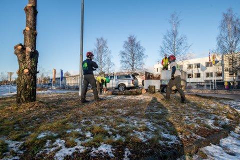 FJERNET: Fire store furutrær ble denne uken fjernet fra rundkjøringen øverst i Alexander Kiellands gate i Lillestrøm. Til våren blir det plen.
