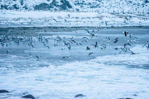Flere av måseartene som hekker i Lofoten er i tilbakegang, nær truet eller truet.