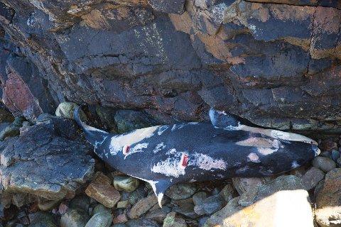 Spekkhoggerkalven tilhørte en flokk spekkehoggere som har hatt tilhold ytterst i Lofoten de siste ukene