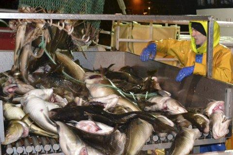 LITE TORSK: Det er lite torsk som kommer på land og det fører til høye priser. Ill.foto: Kai Nikolaisen