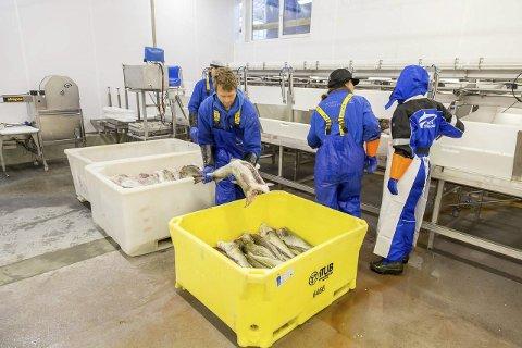 NYTT: Fredag startet Myre Fiskemottak AS å kjøpe fisk på Gimsøya. Begge foto: Eric Fokke