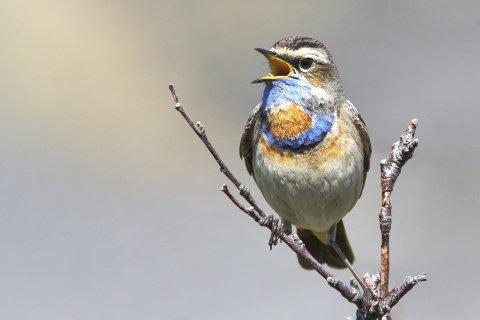 Blåstrupe: synger gjerne på toppen av buskene.