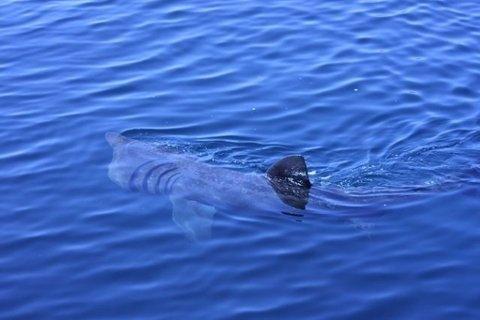 Den helnorske haien brugde her i vannskorpa