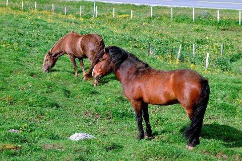 Hester på beite. Illustrasjonsfoto