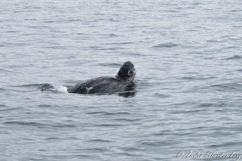 HAVLÆRSKILLPADDE: Skillpadda lå å koste seg i overflata for den dykket. Begge foto: Andre Starkenberg